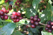 Coffee cherries ripening